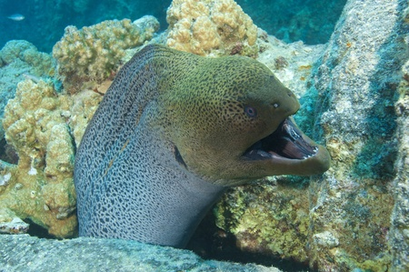 Large giant moray eel showing defensive behaviour with an open mouth photo