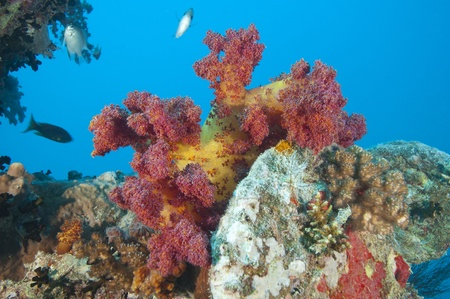 Beautiful red soft coral on a piece of shipwreckage Stock Photo - 10085348