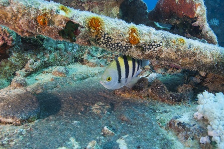 Red Sea sergeant major fish on a shipwreck Stock Photo - 10085393