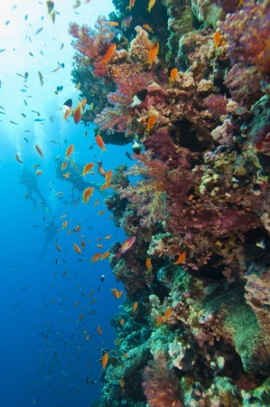Beautiful coral reef wall teeming with coral and fish life with scuba divers in the background Stock Photo - 10085284