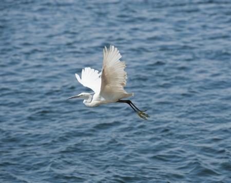 wingspan: Little egret in flight over water Stock Photo