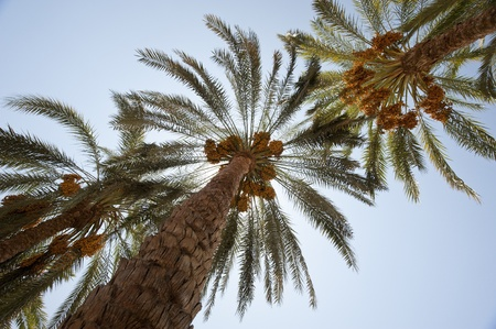 dactylifera: Canopy of date palm trees phoenix dactylifera with dates in the sun Stock Photo