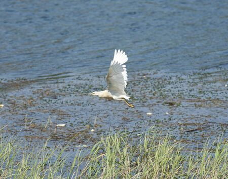 wingspan: Little egret in flight over water and reeds Stock Photo