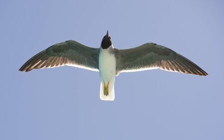 endemic: Endangered species of white-eyed gull endemic to the Red Sea in flight