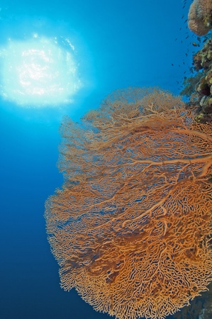 gorgonian: Large gorgonian fan coral underwater on a coral reef wall with sunlight background