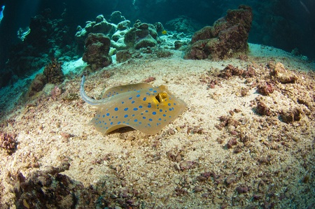 taeniura: Blue-spotted stingray on the sea bed in an underwater tropical cave
