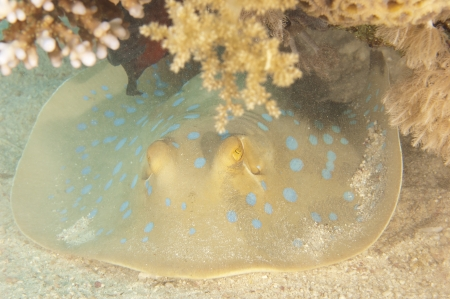 taeniura: Blue spotted lagoon ray underwater on the seabed of tropical coral reef Stock Photo