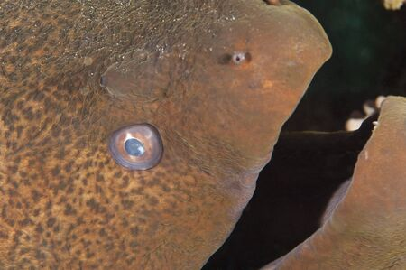 Closeup detail of the head of giant moray eel on a tropical coral reef photo