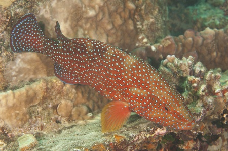 Closeup of a coral grouper on a tropical coral reef photo