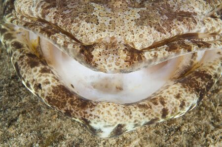 Extreme closeup detail of crocodilefish mouth showing tiny teeth photo