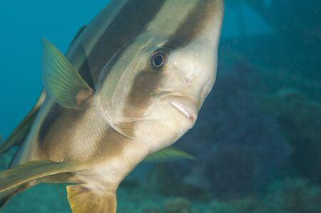 platax: Closeup of a longfin batfish on tropical coral reef