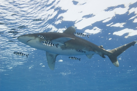 oceanic: Large oceanic white-tip shark Carcharhinus longimanus under water in the open ocean