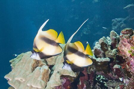 Pair of tropical moorish idol fish on a coral reef Stock Photo - 14185098