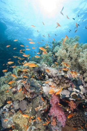 softcoral: Stunning tropical coral reef scenery with shoals of fish in the sun