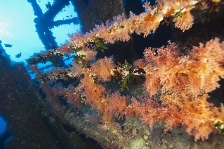 Beautiful large soft corals on an underwater shipwreck in the sun photo