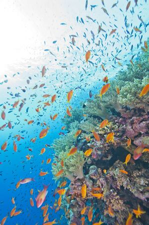 Beautiful tropical coral reef wall in the sun with shoals of anthias fish photo