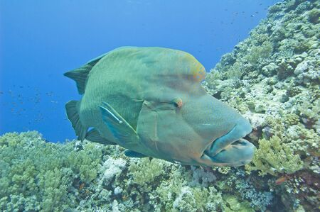 Large male napoleon wrasse on a tropical coral reef wall photo