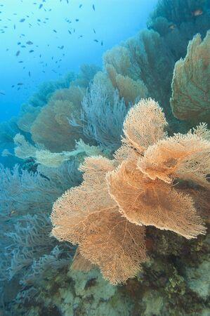 gorgonian: Large gorgonian fan corals on an underwater tropical reef wall