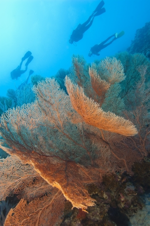 Large gorgonian fan corals on an underwater tropical reef wall with scuba divers photo