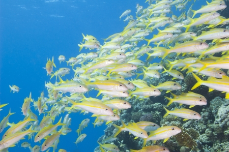 Large shoal of yellowfin goatfish on a tropical coral reef photo