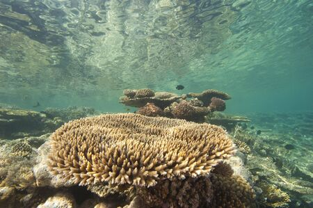 Large hard corals on a tropical coral reef just below the water surface with reflection Stock Photo - 14477132