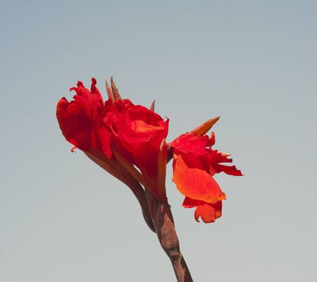 Red bird of paradise flowers against a blue sky background photo