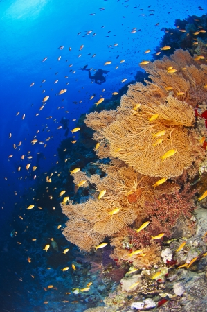Scuba diver exploring a beautiful underwater tropical coral reef with gorgonian fan corals Stock Photo - 15328704
