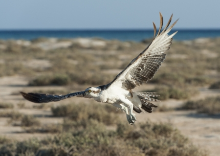 wingspan: Large Osprey wild raptor bird in flight showing its wingspan