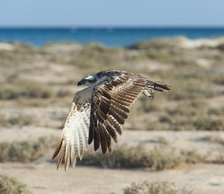 raptor: Large Osprey wild raptor bird in flight showing its wingspan