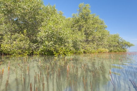 Large white mangrove trees in a tropical lagoon with roots sticking out the water photo