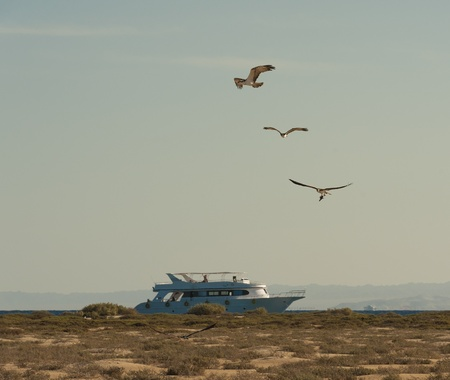 Three large wild osprey sea eagle birds in flight over a desert island with boat in the background photo
