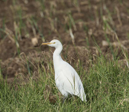 Cattle egret bubulcus ibis stood in a grassy meadow photo