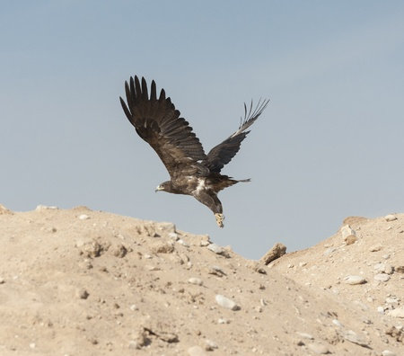 wingspan: Golden eagle sub-adult wild bird flying in the african desert
