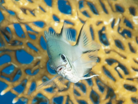 damselfish: Closeup of a pale damselfish on tropical coral reef underwater