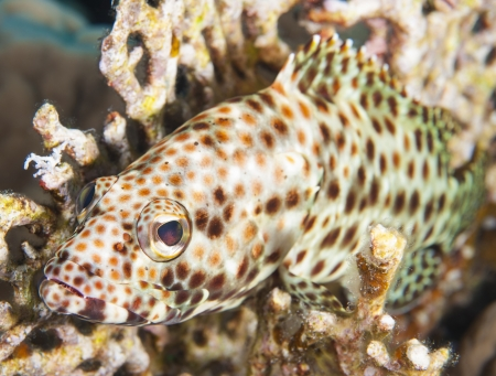 Greasy grouper epinephelus tauvina on a tropical coral reef photo