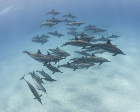 Large pod of wild spinner dolphins swimming underwater in a sandy lagoon