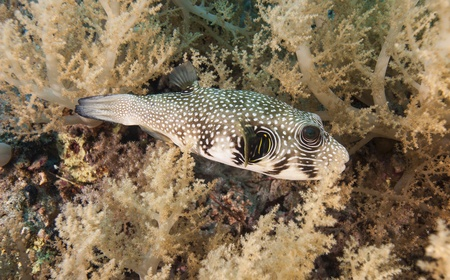pufferfish: Whitespotted pufferfish amongst soft corals on a tropical underwater reef