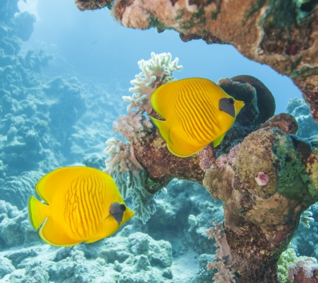 chaetodontidae: Pair of masked butterflyfish swimmig on an underwater tropical coral reef