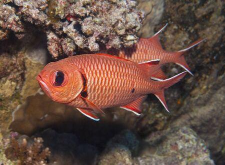 soldier fish: Blotcheye soldierfish myripristis murdjan swimming underwater on a tropical coral reef Stock Photo