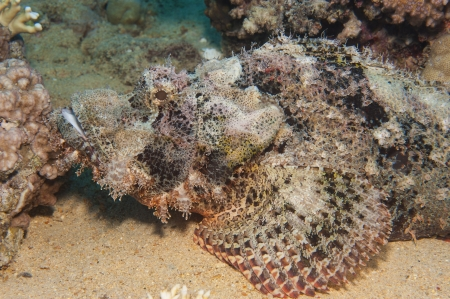 Bearded scorpionfish scorpaenopsis oxycephala on seabed at a tropical coral reef Stock Photo - 21357785