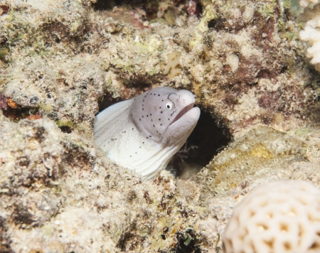 peppered: Peppered moray gymnothorax griseus hiding in hole underwater on a tropical coral reef Stock Photo