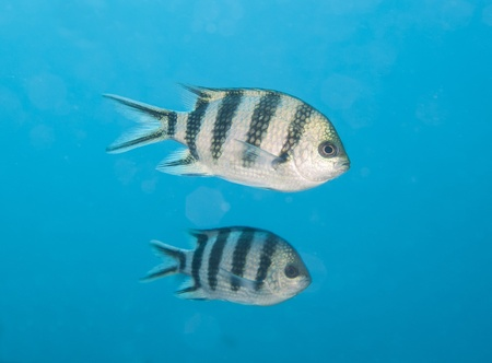 sergeant: Scissortail sergeant fish swimming midwater in blue on tropical coral reef