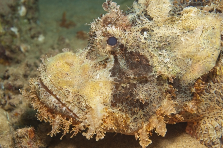 Bearded scorpionfish scorpaenopsis oxycephala on seabed at a tropical coral reef photo