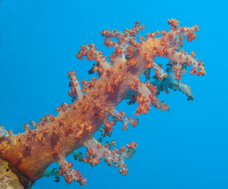 Closeup detail of a large soft coral on tropical coral reef photo