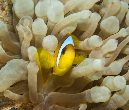 amphiprion bicinctus: Red Sea anemonefish hiding in an anemone on tropical coral reef