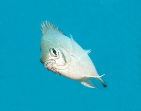 damselfish: Pale damselfish swimming midwater on a tropical coral reef