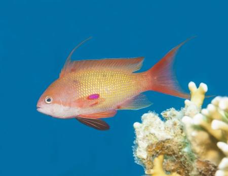 anthias fish: Lyretail anthias fish swimming in blue water on tropical coral reef