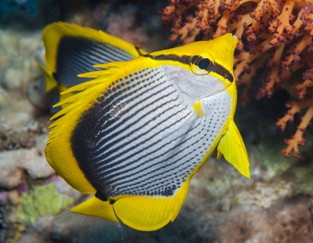 chaetodontidae: Blackbacked butterflyfish swimming underwater on a tropical coral reef