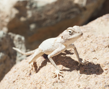 harsh: Egyptian desert agama lizard on in harsh arid environment
