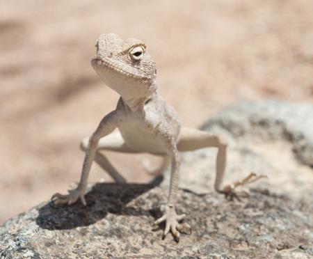 harsh: Closeup of an Egyptian desert agama lizard on in harsh arid environment